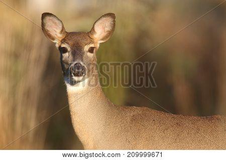 White-tailed Deer (Odocoileus virginianus) doe in a field
