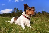 Jack Russell Terrier Lying in the grass on a sunny day looking away poster
