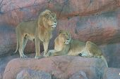 a male and a female lion standing close to one another ** Note: Slight blurriness, best at smaller sizes ** Note: Slight graininess, best at smaller sizes poster