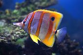 Colourful Sixspine butterfly-fish floats in an aquarium poster