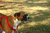A dog [boxer ] wearing a red harness smiles intently at the park. poster