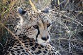 Tanzanian Cheetah resting at Ngorongoro crater, Tanzania poster