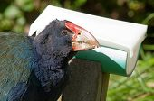 Rare, nearly extinct flightless bird, a Takahe in New Zealand at a feeder poster