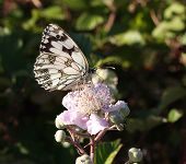Marbled white butterfly (Melanargia galathea) showing its under-wing whilst feeding on a wild flower. poster