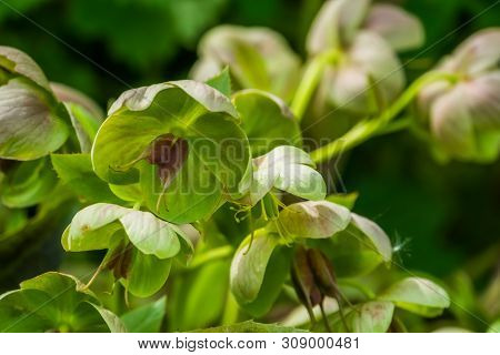 hellebore flowers in macro closeup, evergreen plant from Eurasia, popular cultivated plant in horticulture, nature background poster