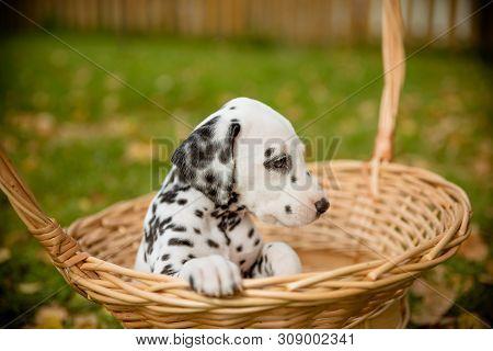 Adorable Dalmatian Dog Outdoors In Summer, Autumn.dalmatian, Cute Small Puppy In Basket.cute Small D