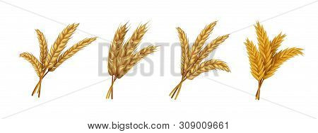 Realistic Wheat. Ears And Grains Of Organic Rye Spike And Oat, Farming Agricultural Cereals Healthy