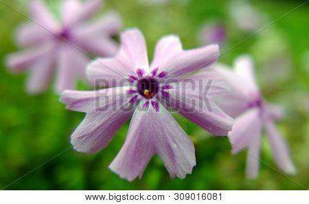 Pink Moss Phlox. Latin Name Phlox Subulata. Small Pink / Lilac Flowers With Dark Purple Markings Aro
