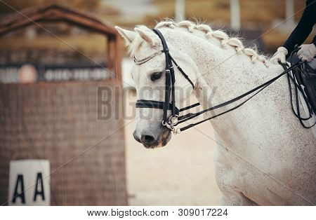 Equestrian Sport. Portrait Sports Gray Stallion In The Double Bridle. Dressage Of Horse In The Arena