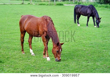 Grazing Brown And Black Horses On The Green Field. Horses Grazing Tethered In A Field. Horses Eating