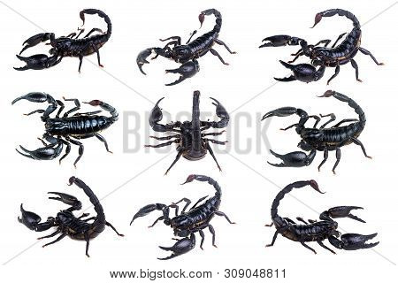 Emperor Scorpion, Pandinus Imperator, Of White Background. Collection Scorpions