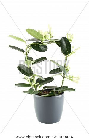 Close-up of the plant in a pot. Isolated on white background poster
