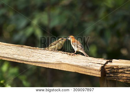 Russet Sparrow At Sattal In Uttarakhand, India.