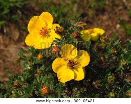 Dasiphora Fruticosa, Common Name Also Shrubby Cinquefoil, Golden Hardhack, Bush Cinquefoil, Shrubby