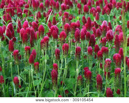 Inkarnat-klee, Botany Name Trifolium Incarnatum, Dark Red Clover Used As Fodder