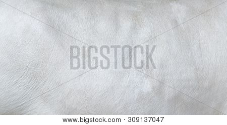 Cowhide Close Up. White Hair Cow Skin. Real Genuine Natural Fur, Free Space For Text. Texture Of A W