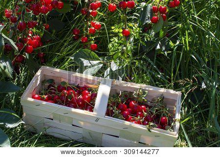 New Harvest Of Prunus Cerasus Sour Cherry, Tart Cherry, Or Dwarf Cherry In Sunny Garden