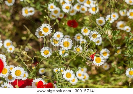 Top View Of Daisy Flowers In A Field On A Sunny Day.