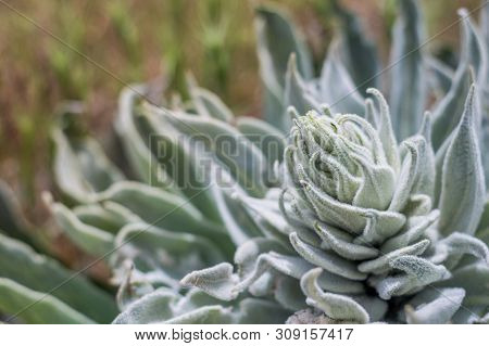 Type Of A Wild Succulent Plant Growing In A Field Outdoors