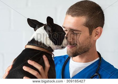 Young vet playing with boston terrier at clinic. Smiling veterinarian with stethoscope loving little dog in hospital after checkup. Cute puppy lick the vet's nose, pet care.