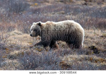 Grizzly Bear [ursus Arctos Horribilis] In The Mountain Above The Savage River In Denali National Par