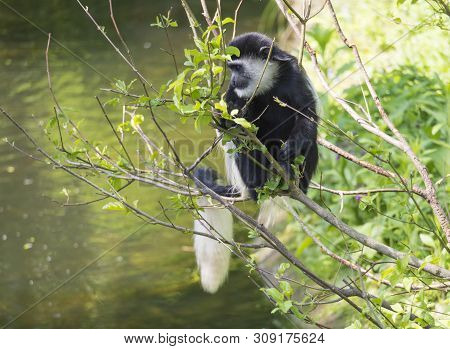 Young Baby Mantled Guereza Monkey Also Named Colobus Guereza Eating Tree Leaves, Climbing Tree Branc