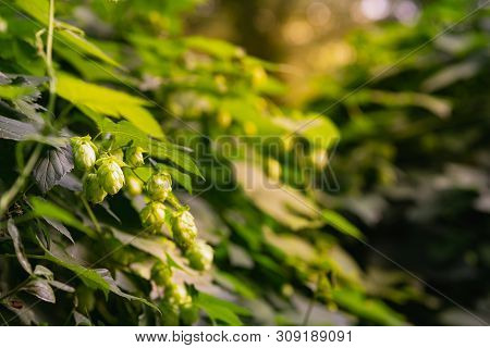 Close-up Of Dry Green Ripe Hop Cones. Green Hop Cones On The Vine Humulus.hops Cones Or Strobiles Of