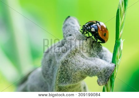 Macro Photo, Close Up, Insect, Ladybug On A Leaf, Coccinellidae, Arthropoda, Coleoptera, Cucujiformi