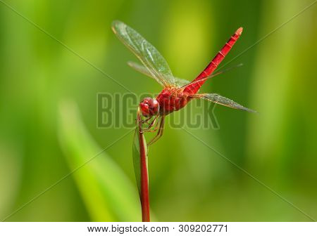 Scarlet Skimmer Or Ruddy Marsh Skimmer - Crocothemis Servilia A Species Of Dragonfly Of The Family L