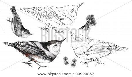 Nuthatch Illustration Set