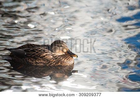 Female Duck Clean On Lake Water Reflection Nature  Wild Autumn Bird