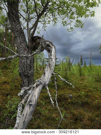 Gnarled Willow And Dark Clouds In Brannberget Naturreservat In Northern Sweden