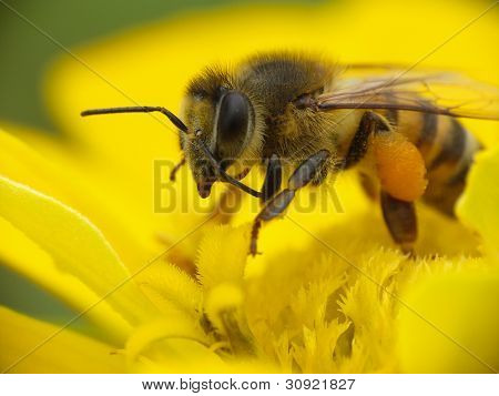 Bee collecting pollen.