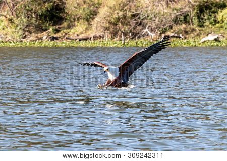 Fish eagle,  Haliaeetus vocifer, about to catch a fish from the surface of Lake Naivasha, Kenya. These skilled predators will snatch fish from the water with their strong and sharp talons.