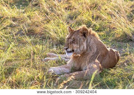 Juvenile male lion, in the long grass off the Masia Mara, in late afternoon sunshine.