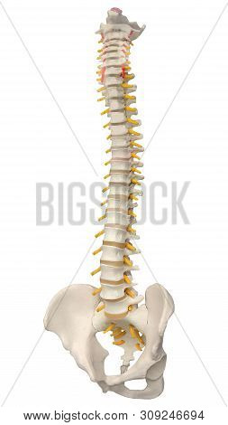 Skeletal Human Spine And Vertebral Column Or Intervertebral Discs. Human Spine Anatomy. Detailed Spi