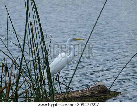 A Great White Egret On A Log At The End Of A Reed Bed Fishes.