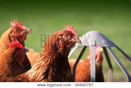 Feeding Brown Hens