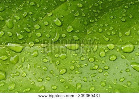 Beautiful Green Leaf Texture With Drops Of Water In Raining Day.top View Creative Raindrop On Tropic