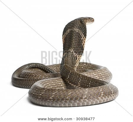king cobra - Ophiophagus hannah, poisonous, white background poster