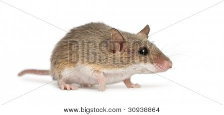 African Pygmy Mouse - Mus minutoides, the smallest of all rodents