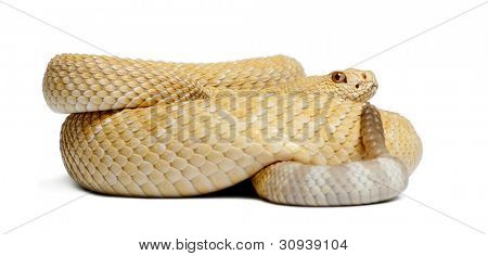 albinos western diamondback rattlesnake - Crotalus atrox, poisonous, white background