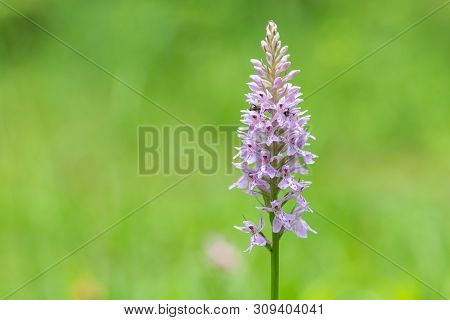 Closeup Of A Heath Spotted-orchid (dactylorhiza Maculata, Orchidaceae) In The Austrian Alps