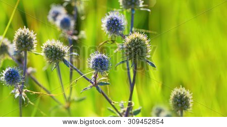 Meadow Plant Is A Snowman In A Natural Environment. Blue Prickly Flower In Nature On Blurred Backgro