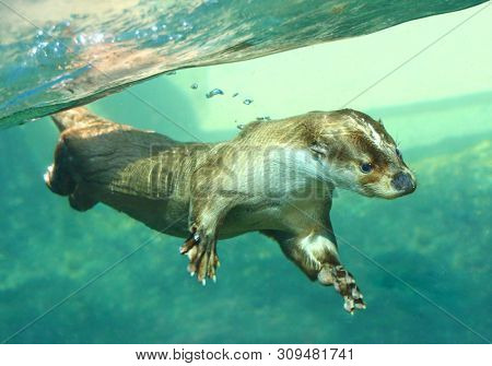 The European Otter - Lutra lutra playing and hunting underwater. This animal is dangerous pest for fish farm and aquaculture. Wildlife in National Park Sumava. Czech Republic, Europe. poster