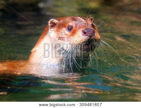The European Otter - Lutra lutra swimming and hunting in Uhlava River. This animal is dangerous pest for fish farm and aquaculture. Wildlife in National Park Sumava. Czech Republic, Europe. poster