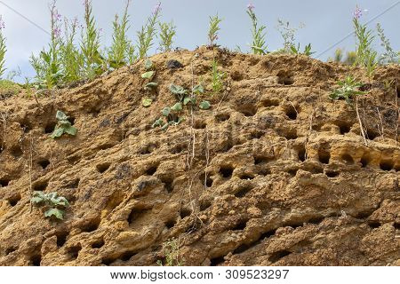 Apus Swift Nests. Many Mink Nests Of Birds Swift On A Vertical Sandy Shore.