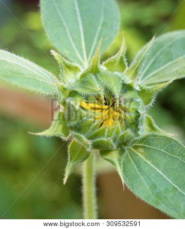 Vertical Closeup Of Closed Sunflower Flower Plant