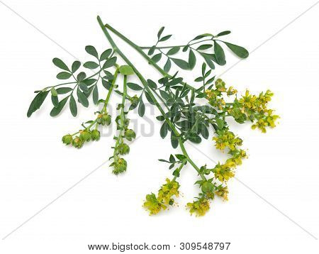 Ruta Commonly Known As Rue Ruta Graveolens Rue Or Common Rue. Isolated On White Background