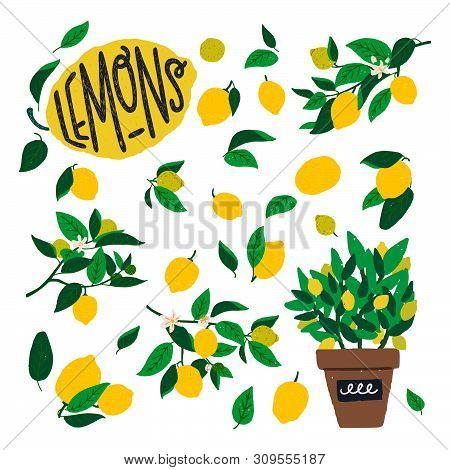 Lemon Tree Branches With Flowers, Fruits And Leaves. Flat Style Citrus Plant Elements With Large Yel